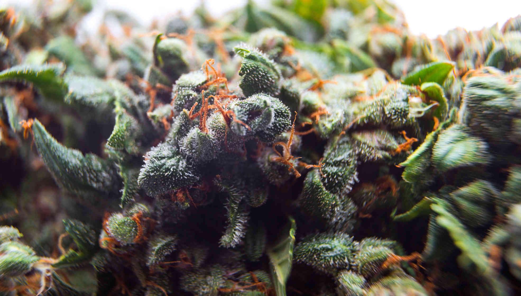 close up of cannabis plant