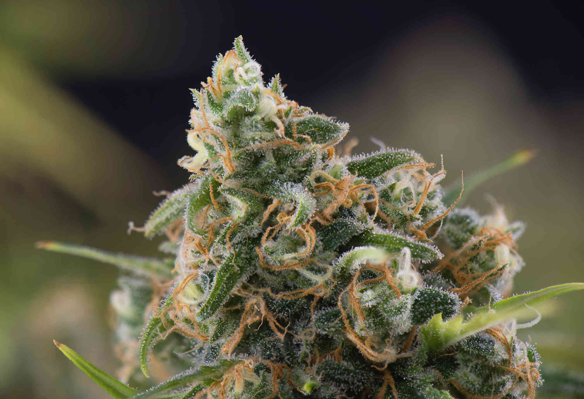 side shot of cannabis bud